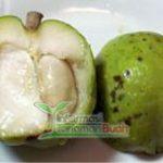 buah white sapote