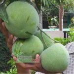 Jual Bibit Mangga Kelapa Sper – Mangga Kelapa Besar Rasa Manis Berbuah Dalam Pot