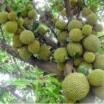 Tips Perawatan pada Pohon Durian Merah Banyuwangi