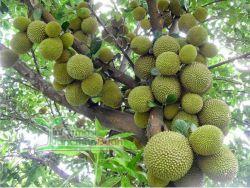 pohon durian merah berbuah