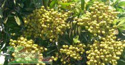 pohon kelengkeng hawae