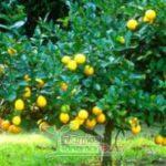 Lemon australia cepat berbuah, ini tips perawatannya