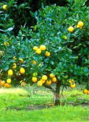 pohon lemon australia