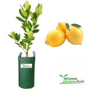 Jual bibit lemon