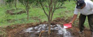 cara pemupukan pohon jeruk