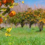 Cara Menanam Buah Jeruk dan Lemon di Pot Maupun di Lahan
