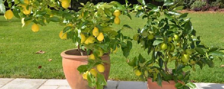 menanam bibit jeruk di pot