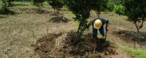 penyiangan pohon jeruk