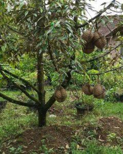pohon durian pendek berbuah