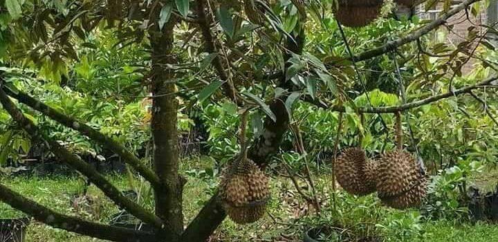 Cara Menanam Durian Pendek 3 Tahun Berbuah