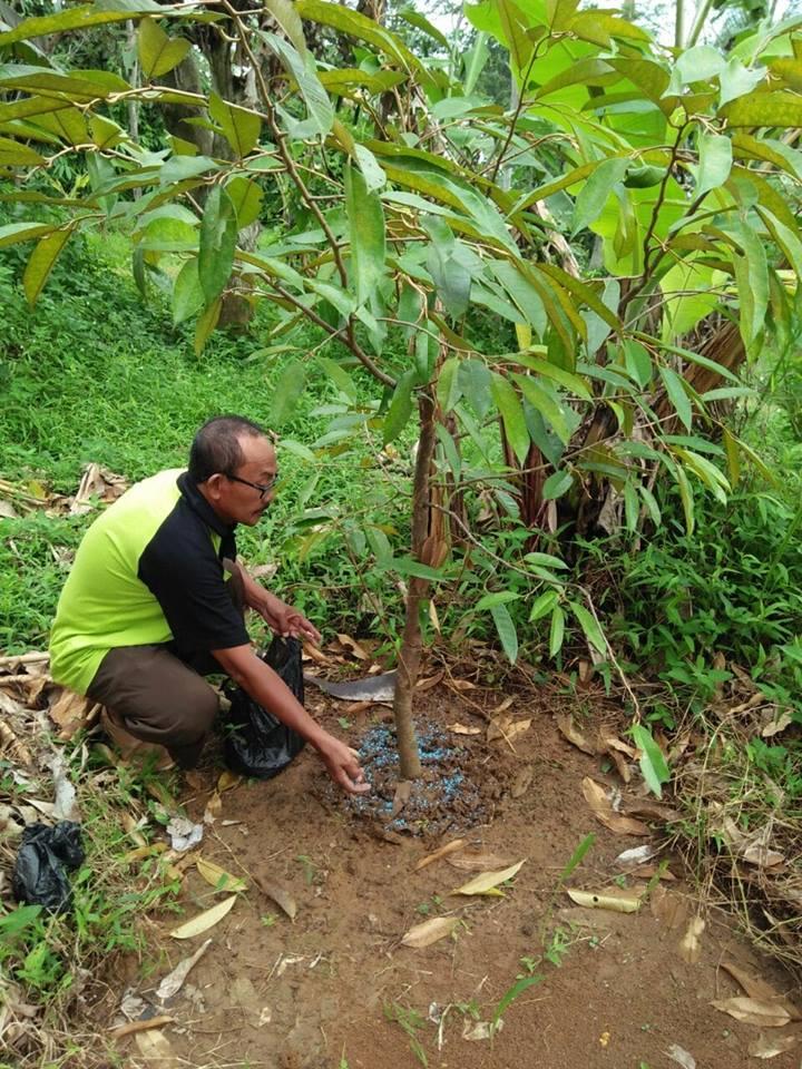 pemupukan pohon durian