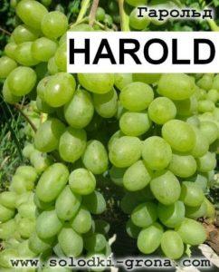 Anggur harold