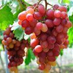 Anggur red aussie
