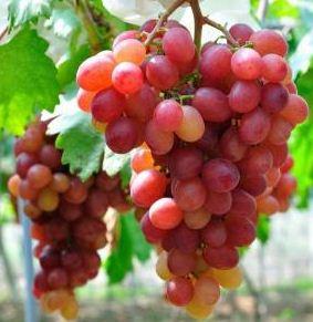 Jual Bibit Anggur Import dan Anggur Lokal Mudah Berbuah